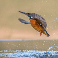 Diving Kingfishers