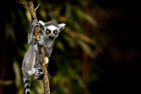 A baby Ring Tailed Lemur